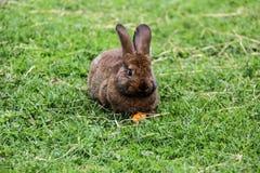 兔子兔宝宝用红萝卜 免版税图库摄影