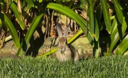 兔子吃 免版税库存图片