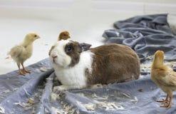 兔子和小鸡 免版税图库摄影