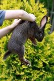 兔子在人的手上 免版税库存照片