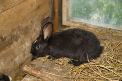 兔子在农场的棚子 免版税库存照片