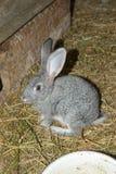 兔子在农场的棚子 库存图片