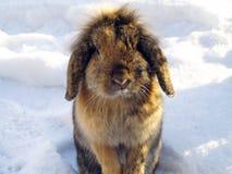 兔子在冬天 库存照片
