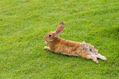 兔子在庭院里弄倒 库存照片