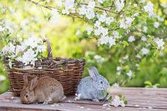 兔子在春天果树园 库存照片