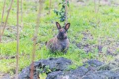 兔子在法国海滨的一个自然公园 库存图片