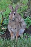 兔子在雨中 库存图片