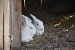 兔子夫妇 库存照片