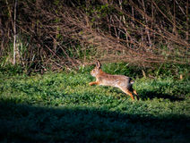兔子奔跑 库存照片