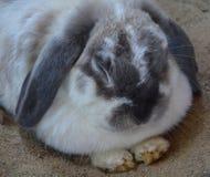 兔子是在家庭比利时野兔科的小哺乳动物 库存图片