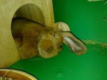 兔子甜点睡眠 免版税图库摄影