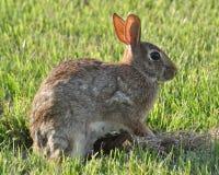 兔子用小兔子 免版税库存图片