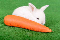 兔子用红萝卜 免版税图库摄影