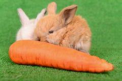 兔子用红萝卜 免版税库存照片