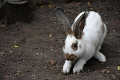 兔子白色 一个逗人喜爱的动物在农场 小的兔子 库存图片