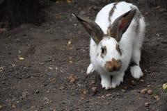 兔子白色 一个逗人喜爱的动物在农场 小的兔子 免版税库存照片