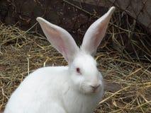 兔子白色 图库摄影