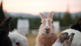 兔子看看射击在不可思议的小时日落,迷离背景,在面孔的焦点的照相机 免版税库存照片
