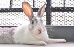 兔子看 图库摄影