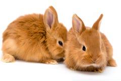 兔子红色二 免版税图库摄影
