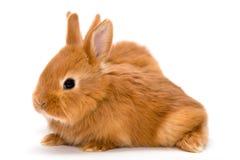 兔子红色二 库存照片