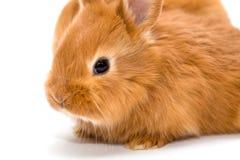 兔子红色二 图库摄影
