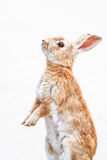 兔子红色 图库摄影