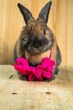 兔子红褐色的颜色 库存照片