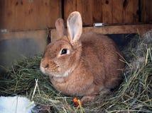 兔子逗人喜爱在干草 免版税库存图片