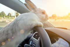 兔子驾驶汽车,他在方向盘后的驾驶席 野兔司机 给礼物的白色复活节兔子乘驾 免版税图库摄影