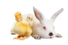 兔子鸡鸭子 免版税图库摄影