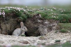 兔子,穴兔串孔 库存照片