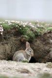 兔子,穴兔串孔 库存图片