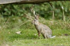 兔子,穴兔串孔 免版税库存图片