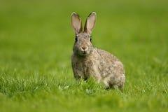 兔子,穴兔串孔 免版税库存照片
