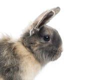 兔子(4个月)的特写镜头 免版税库存图片
