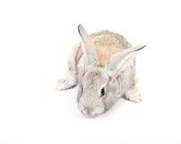 兔子年轻人 免版税库存图片