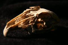 兔子头骨 库存照片