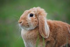 兔子 免版税库存图片