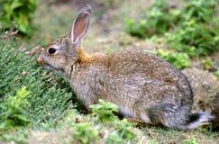兔子skomer 免版税库存图片