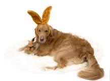 兔宝宝与兔宝宝耳朵的金毛猎犬狗 图库摄影