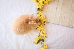 兔宝宝与黄色连翘属植物花和木板的复活节兔子有拷贝的室的 免版税库存图片