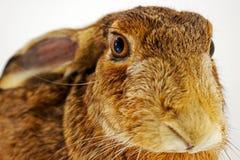 兔宝宝动物标本剥制术 库存照片
