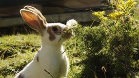 兔宝宝吃 免版税库存照片