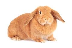 兔宝宝年轻人 免版税库存照片