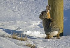 兔宝宝捉迷藏 库存图片