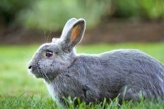 兔宝宝灰色兔子 库存图片