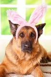 兔宝宝狗复活节 图库摄影