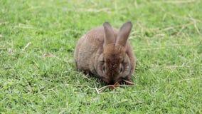 兔宝宝用红萝卜