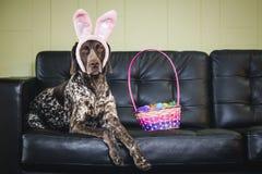 兔宝宝耳朵狗 免版税库存照片